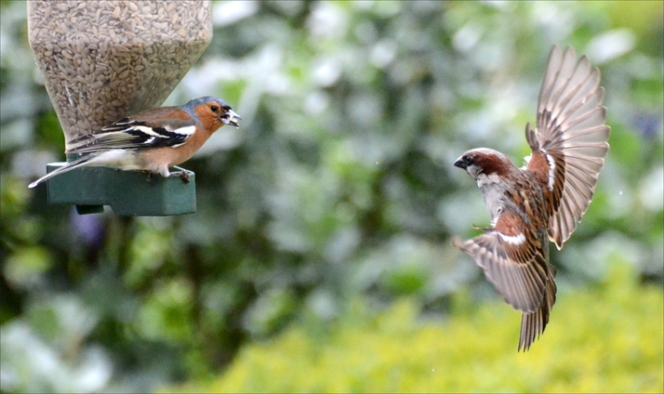 chaffinch flying sparrow