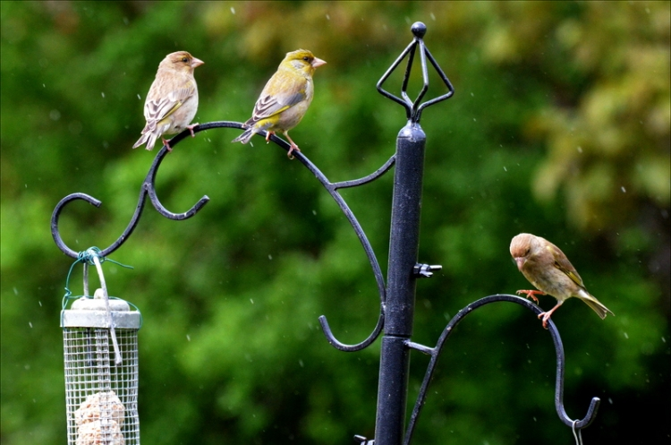 greenfinches in the rain