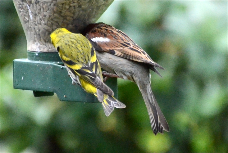 sparrow and siskin sharing