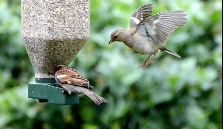sparrow flying chaffinch