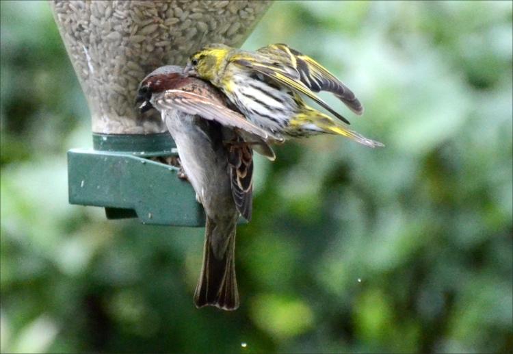 sparrow siskin