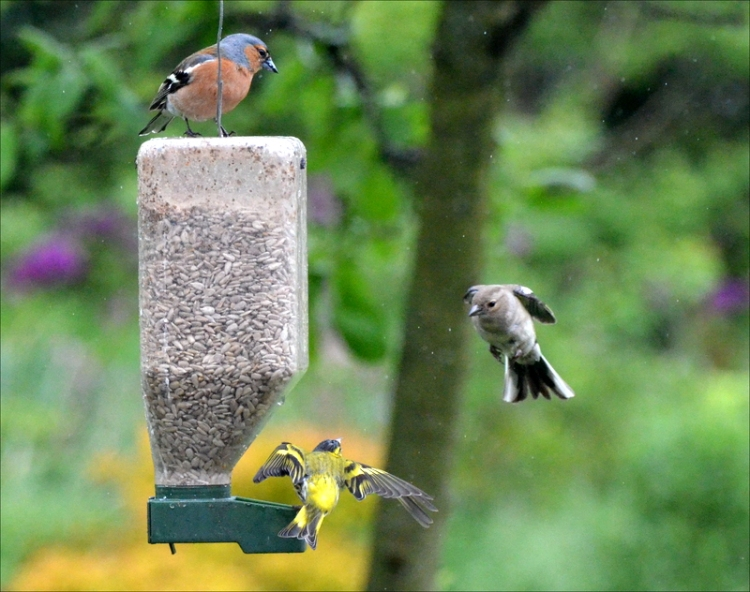 flying chaffinch siskin