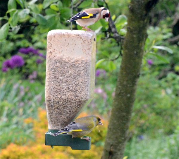 goldfinch greenfinch