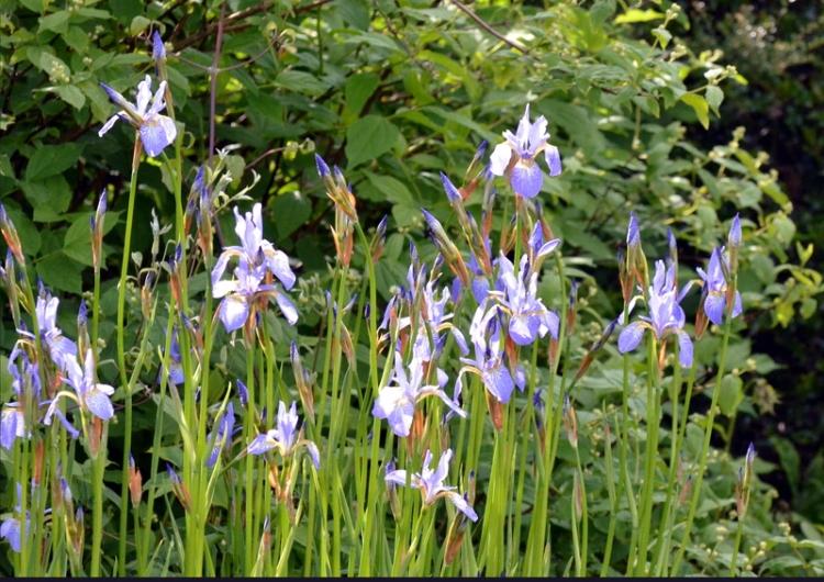 irises back border