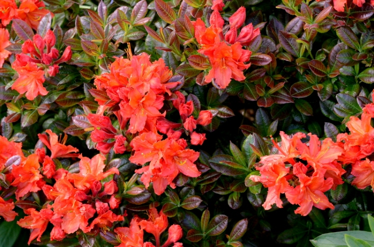 even more azaleas
