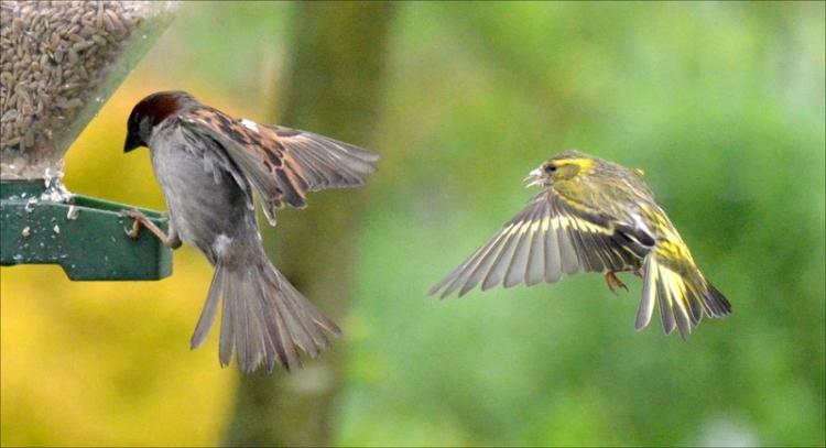 flying siskin flying sparrow