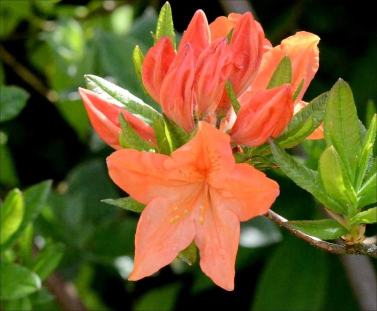 yet another azalea