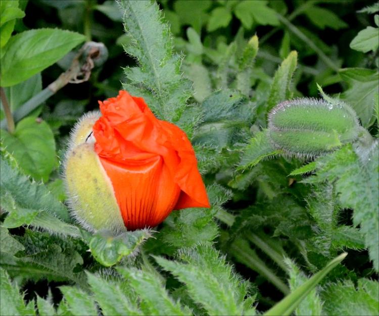 promise of poppy