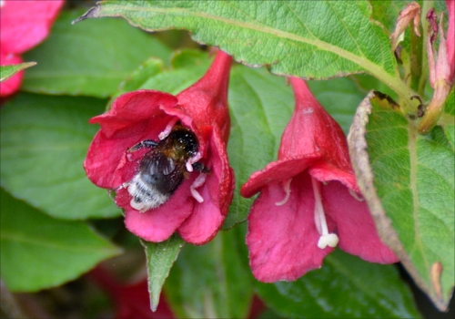 bee in weigela