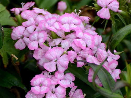 biennial sweet william