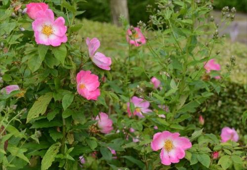 cheerful rose