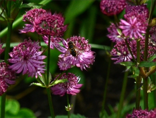 insect on astrantia