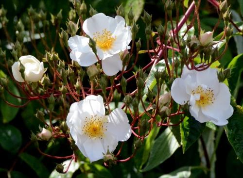 new white rose