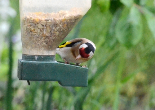 picky goldfinch