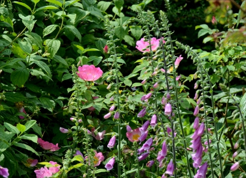 rose and foxgloves