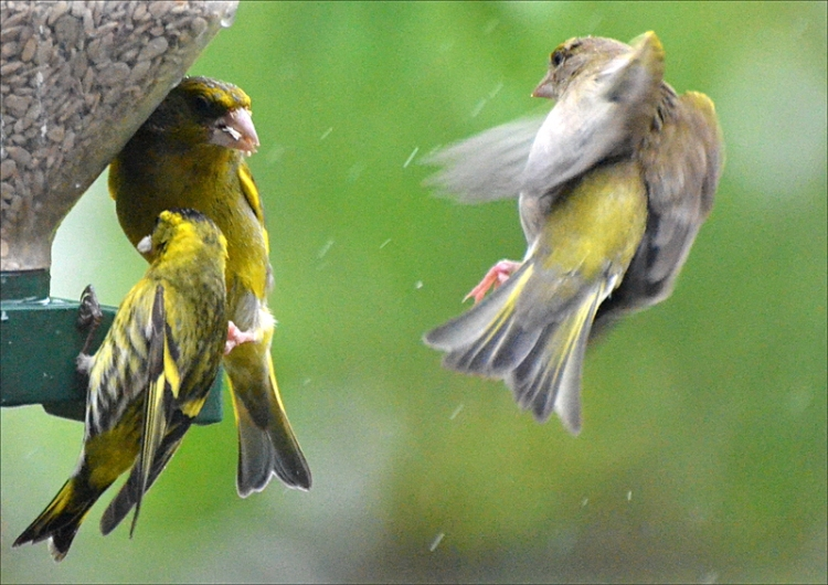 siskin goldfinches