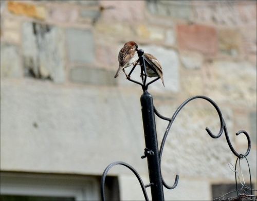 sparrow parent and child