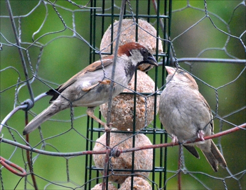 A sparrow feeding its young