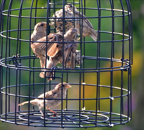 sparrows feeding