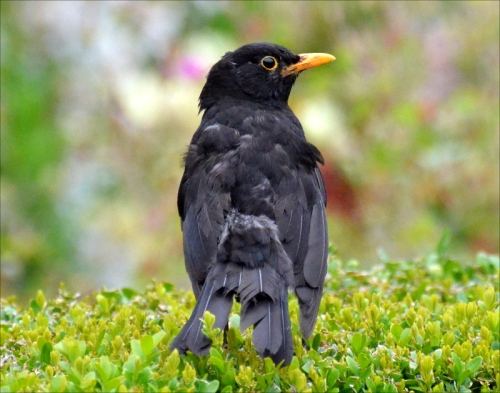 blackbird ragged tail