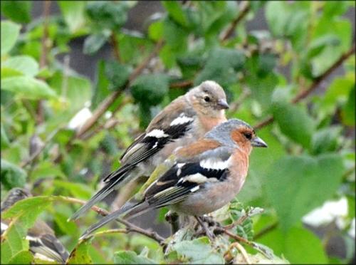 chaffinch pair