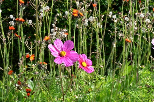 cosmos and hawkweed