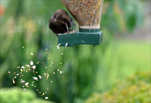 extravagant starling