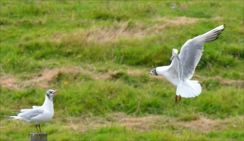 gull talk