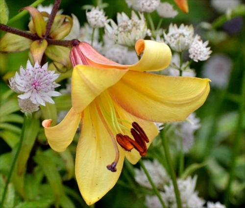 lily astrantia