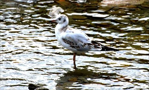 paddling gull