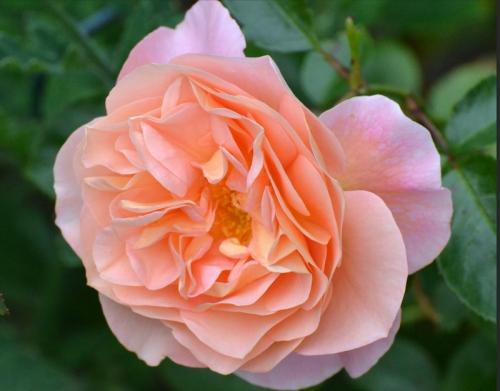 rosa wrenn