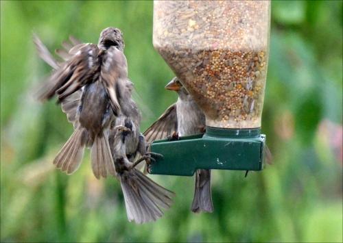 several sparrows