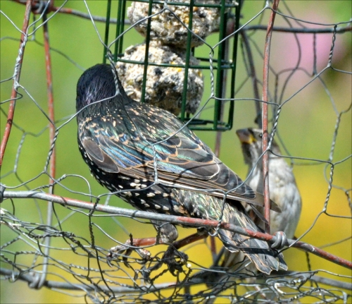 starling in cage