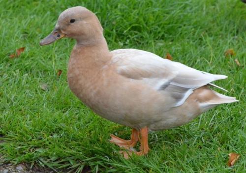 light brown duck