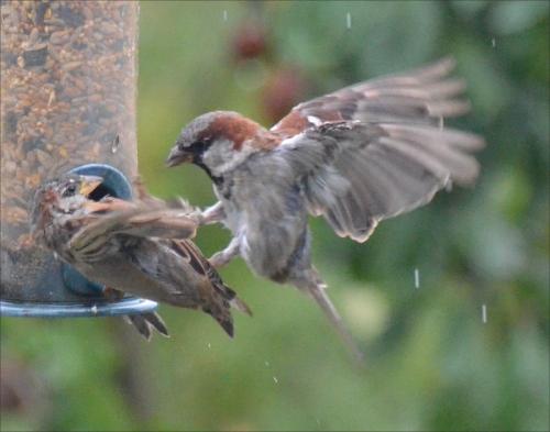 battling sparrows
