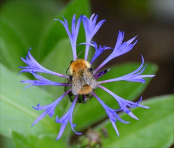 cornflower bee