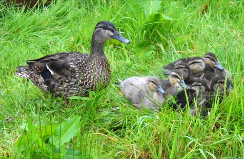 Duck and brood