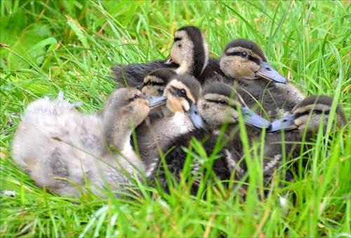 duck heap 1