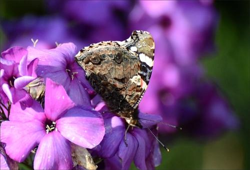 phlox butterfly 1