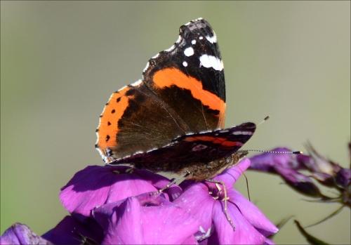 phlox butterfly 2