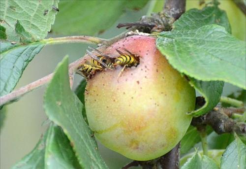 plum wasps