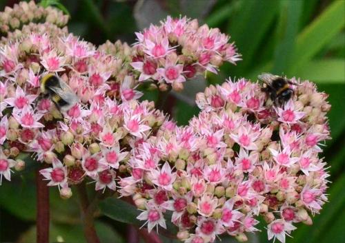 sedum and bees
