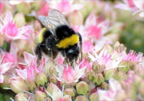sedum bee
