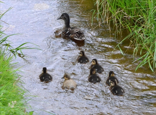 seven ducklings