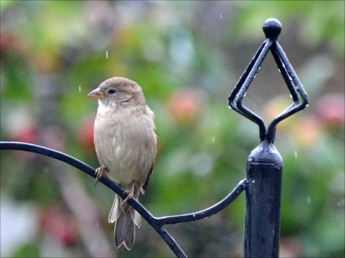 unruffled sparrow
