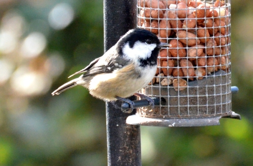 coal tit on peanuts