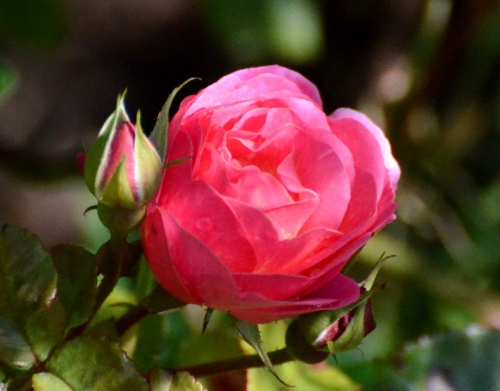 rose Lilian Austin