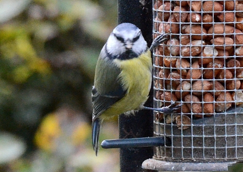 blue tit with peanuts