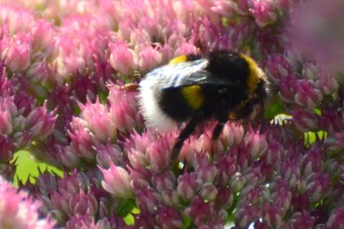 bees on sedum