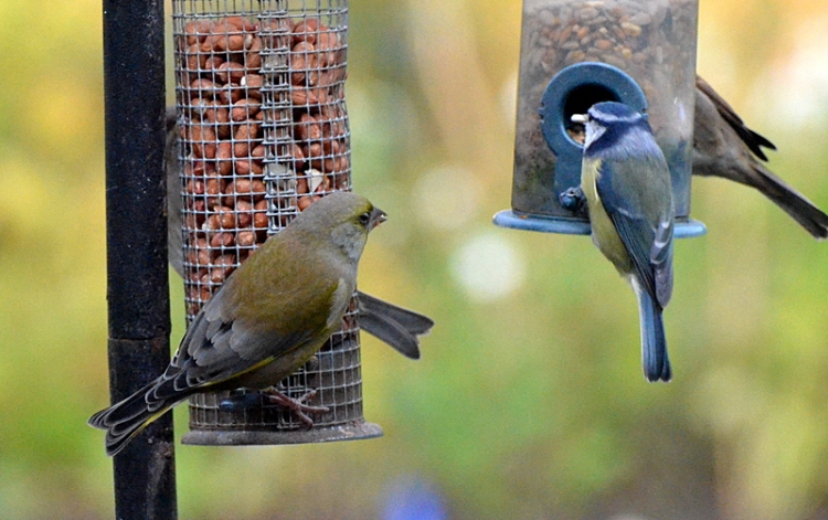 greenfinch and bluetit